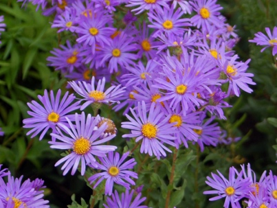 steraceae - Aster amellus