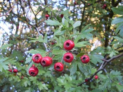 https://upload.wikimedia.org/wikipedia/commons/thumb/f/fb/Hawthorn_fruit.JPG/800px-Hawthorn_fruit.JPG