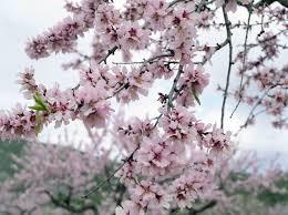 almond%20tree.jpg